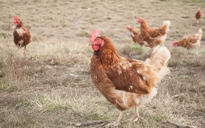 "Here's What ""Free-Range"" Really Means for Laying Hens"