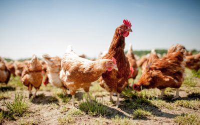 Why We Care about the Chickens' Welfare…And Why You Should Too!